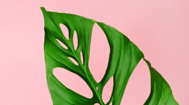 monstera-adansonii-obliqua