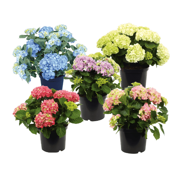 aldi folder week 32 hortensia