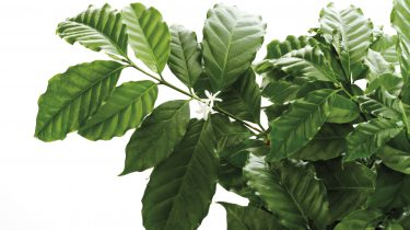 coffea arabica koffieplant
