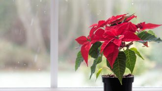 aldi folder kerstster Poinsettia