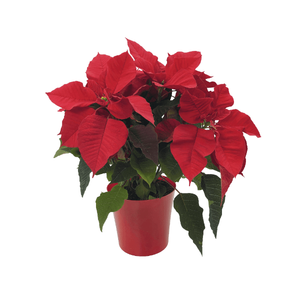 aldi folder week 48 kamerplant kerstster