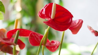 anthurium flamingoplant